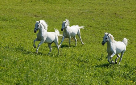 The Beauty of Freedom-Horses of Lipizanner Breed-State Stud Farm-Djakovo ... Photo taken from ... https://www.telegraph.co.uk/travel/destinations/europe/croatia/articles/Osijek-Croatia-gateway-to-Slavonia/
